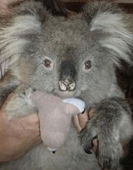 Donate-Koala
